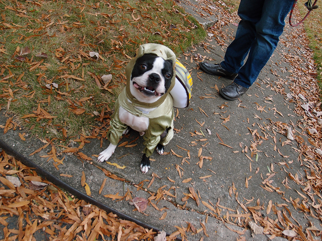 Boston Terrier loves halloween