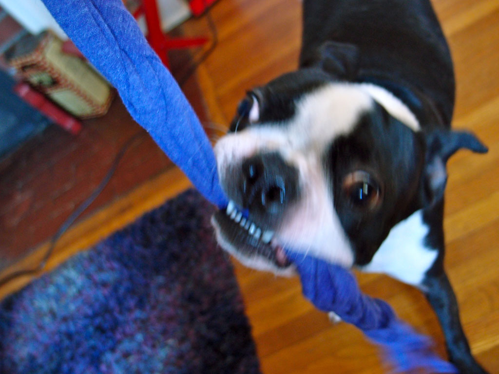 Dog enjoys DIY T-Shirt Dog Toy