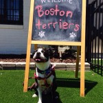 Boston Terriers Take Over Club Fetch!