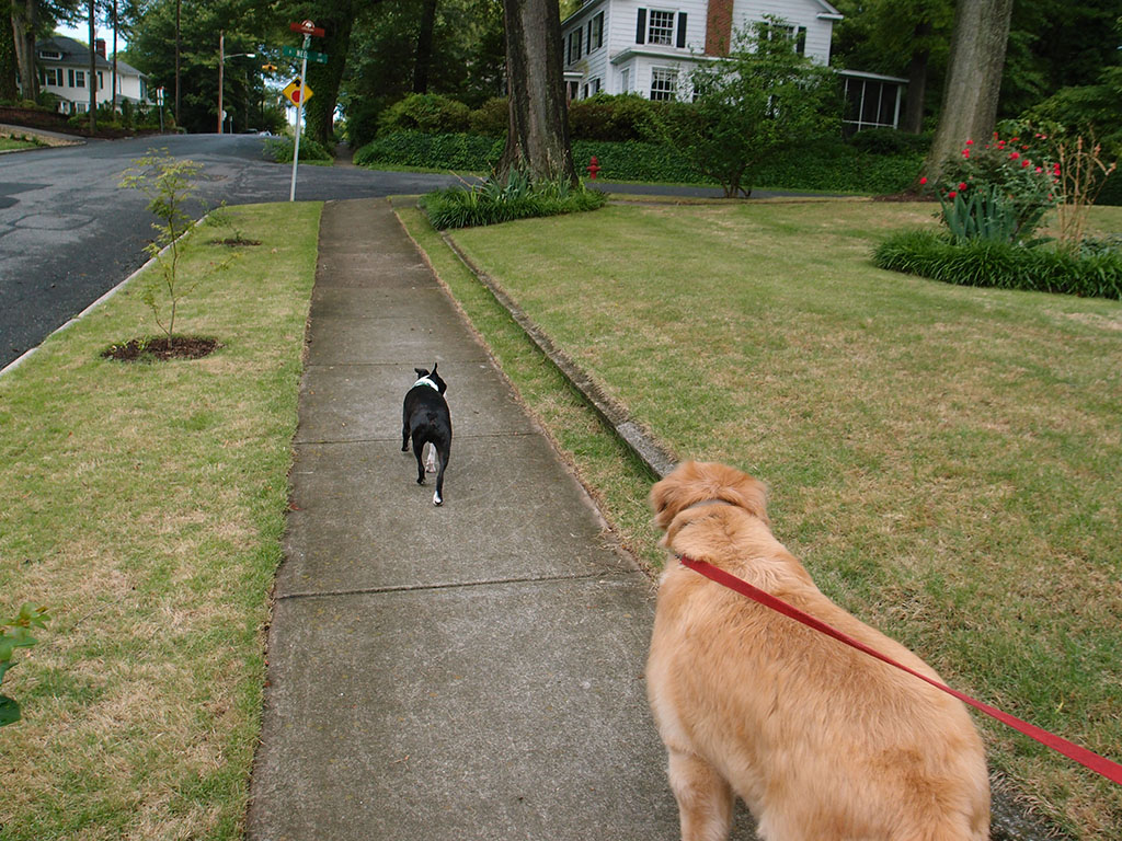 Two dog walk