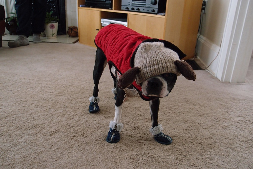 Cold Boston terrier requires a sweater, coat, and boots to stay warm!