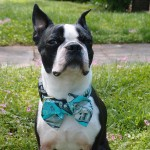 DIY No Sew Bow Ties for Pets!