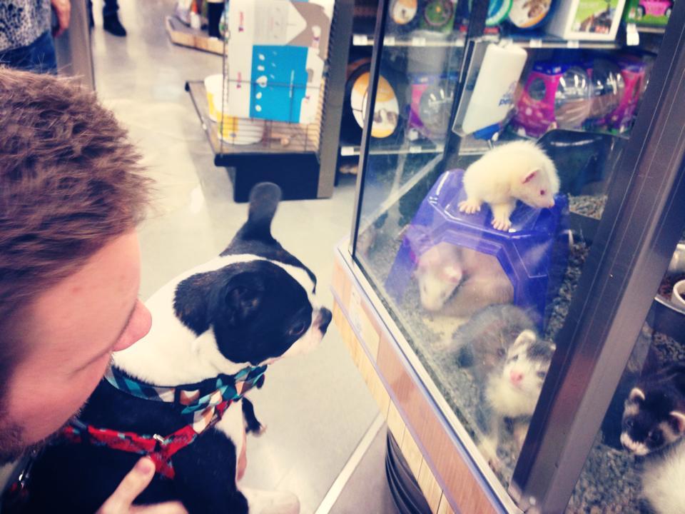 Dog meets ferrets!