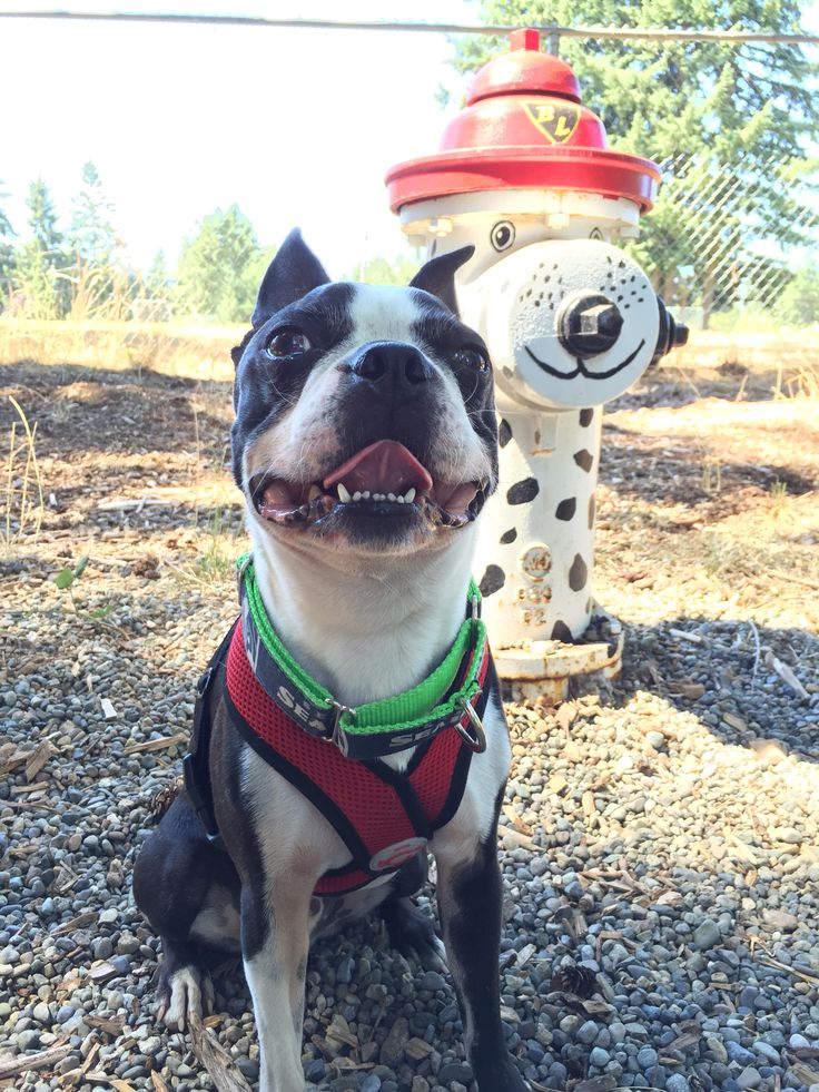 "Basil loves ""using the hydrant"" at Bonney Lake Dog Park"