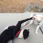 Puppy meet Boston Terrier