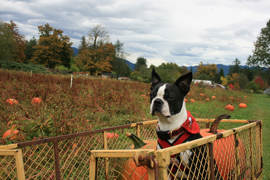 Basil at the pumpkin patch. The Nursery at Mount Si